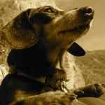 Profile picture of Bicontinental Dachshund