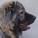 Profile picture of Bassa Caucasian Shepherd